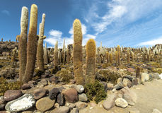 Group of Cacti in Bolvia Royalty Free Stock Photo