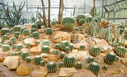 Group of cactus in green house Stock Photos