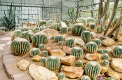 Group of cactus in green house Stock Images