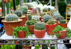 Group of cactus. Many cactus on pot for nature garden fair royalty free stock photo