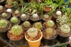 Group of cactus plants Royalty Free Stock Image