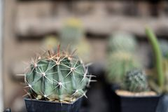 A group of cactus pots Stock Photography