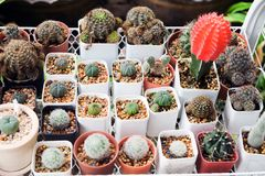 Group of cactus or succulent in a pot. Natural Royalty Free Stock Image