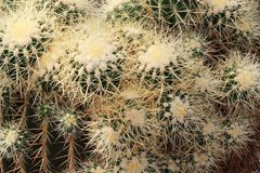 Group Of Cactuses In A Zoo. Photograph of a group of cactuses taken in a zoo royalty free stock photos