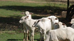 Group of Calf in the grassland stock footage