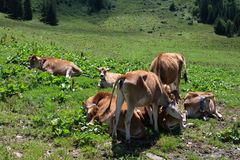 Group of calfs Stock Image
