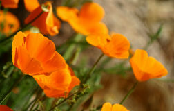 A group of California Golden Poppies. Royalty Free Stock Photos