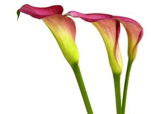 Group of Calla Lilies Stock Image