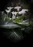 Group of calla lilies Stock Photography