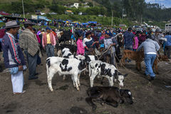 A group of calves wait to be sold at the Otavolo animal market in Ecuador in South America. Stock Photos