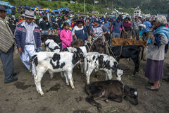 A group of calves wait to be sold at the Otavolo animal market in Ecuador in South America. Stock Image