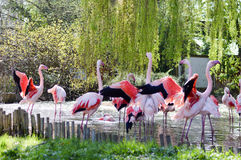Group of Camargue pink flamingos Royalty Free Stock Image