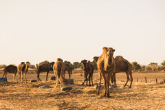 The group of camel standing near the desert Stock Photography