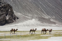 Group of camel. Walk among mountain royalty free stock image