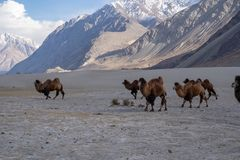 A group of a camel walking on a sand dune in Hunder, Hunder is a village in the Leh district of Jammu and Kashmir, India stock images