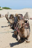 Group of Camels Royalty Free Stock Image