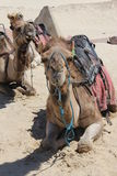 Group of Camels Royalty Free Stock Photos