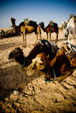 Group of camels. Dromedary camels in the Sahara desert, blue sky, golden sand royalty free stock image