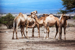 Group of camels in Africa Royalty Free Stock Image