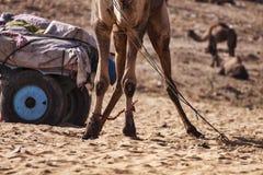 A few camels in Pushkar,Mela royalty free stock photo