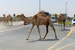 A group of camels cross the Middle Eastern Road while cars wait stock photo