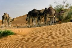 Group of Camels Eating in the Sahara desert in Tunisia royalty free stock image