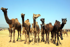 Group of camels during festival in Pushkar Stock Images