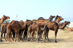 Group of camels during festival in Pushkar Stock Image