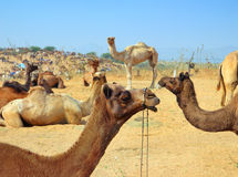 Group of camels during festival in Pushkar Royalty Free Stock Images