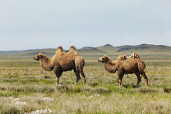 Group of camels Stock Photography