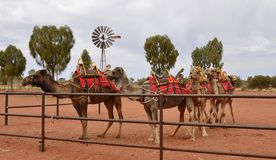 Group of Camels. Stock Images