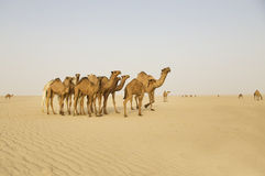 Group of camels in the middle of the desert Stock Images