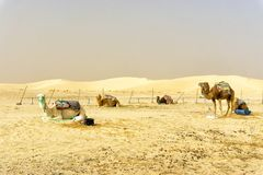 Group of camels in Ong Jemel desert in Tunisia stock photos