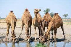 Group of camels photo royalty free stock photo