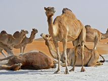 Group of camels rolling in the sand royalty free stock photography