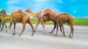 A group of camels walking on a highway, road. With green fields and blue sky background royalty free stock image