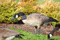 Group of Canadian Geese eating Stock Photos