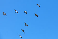 Group of Canadian geese flying in V shaped flock Royalty Free Stock Photos