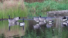 Group of Canadian Geese standing relaxing in water stock video