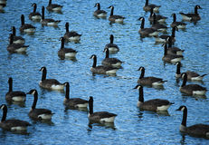 Group of Canadian Geese. Group of wild Canadian Geese swimming in pond Royalty Free Stock Photo