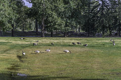 A group of canadian gooses standing in prince`s island park. Close to Calgary downtown stock photo