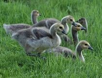Group of canadian goslings royalty free stock images
