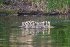 A group of Canadian goslings in soft focus Royalty Free Stock Image