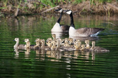 A group of Canadian goslings swimming together Stock Image