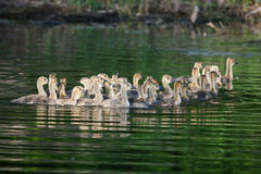 A group of Canadian goslings swimming together Stock Images