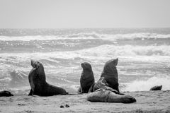 Group of Cape fur seals on the coast. Royalty Free Stock Photos