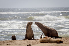 Group of Cape fur seals on the coast. Stock Image