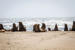 Group of Cape fur seals on the coast. Royalty Free Stock Photo