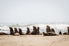 Group of Cape fur seals on the coast. Royalty Free Stock Images