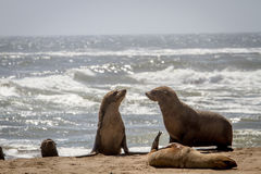 Group of Cape fur seals on the coast. Stock Photos